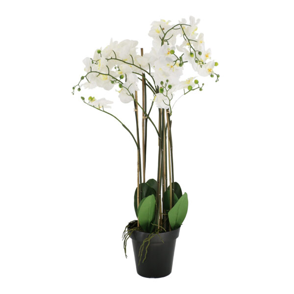 7 Pcs Butterfly Orchid On Black Plastic Pot - Aramis Trading